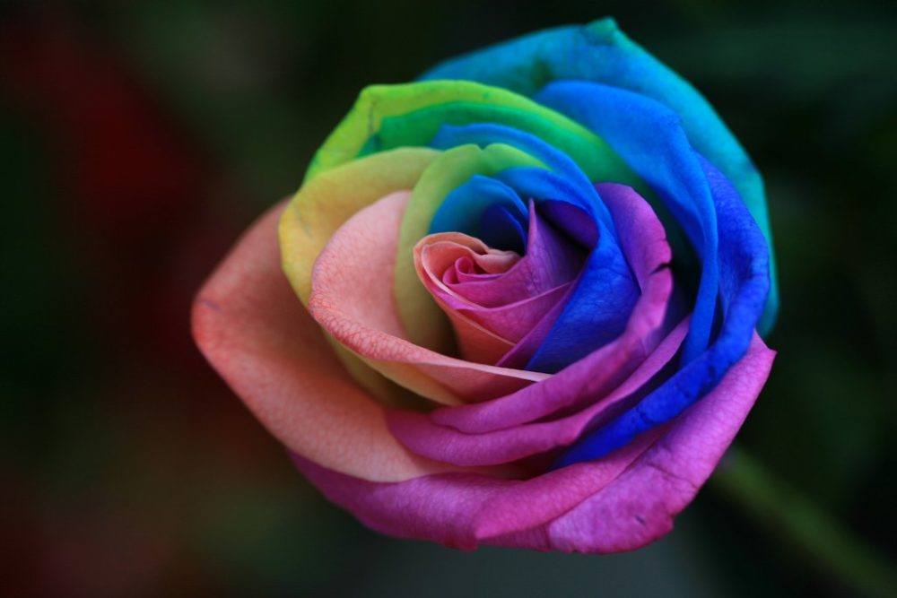 rainbow roses are extra special flowers for the extra