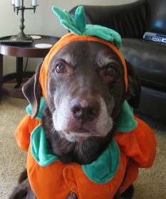 dog-pumpkin-costume-by-mulmatsherm.jpg