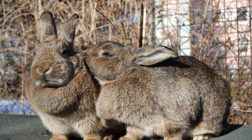 Got Rabbits? Carl Szmolinsky Does… Big Ones!
